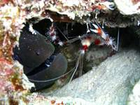 Banded Coral Shrimp and Blind Moray 1 Tonga Cleane