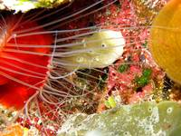Banded Coral Shrimp with Flame Scallop Cat Island