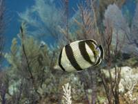 Banded_Butterflyfish_Cat_Island_5-29-10