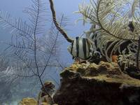Banded Butterflyfish Cat Island 42711