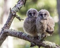 Northern Spotted Baby Owls