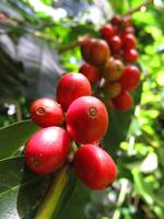 Wild Hawaiian Coffee