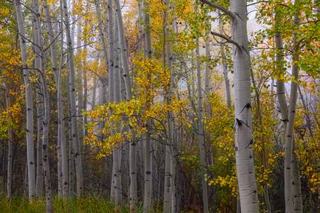 Aspen Forest Light
