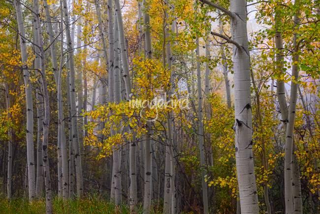 Aspen Forest Light