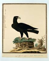 Black eagle (Aquila verreauxii), Robert Jacob Gord
