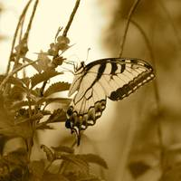 Swallowtail Butterfly in Sepia