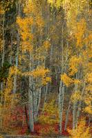 Red Aspen Forest Wilderness Floor