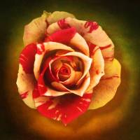 Mini Rose Art Prints & Posters by Vincent-Field Photography ...