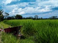 Wheelbarrow by a rice field