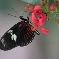 Doris Longwing Butterfly Horizontal by Karen Adams
