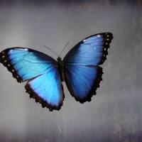 Blue Morpho Butterfly by Karen Adams
