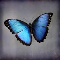 Blue Morpho Butterfly Square by Karen Adams