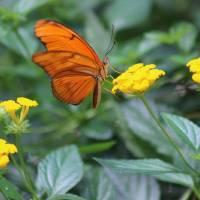 Julia Butterfly on Yellow Lantana Flowers by Karen Adams