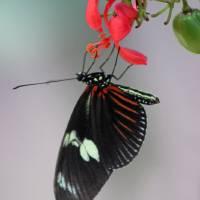 Doris Longwing Butterfly Vertical by Karen Adams