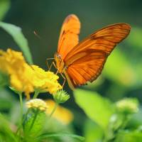 Julia Butterfly by Karen Adams