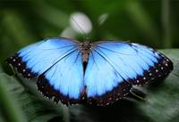 Close to Blue Morpho Butterfly