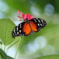 Tropical Hecale Longwing Butterfly by Karen Adams