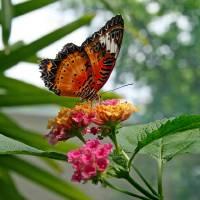 Lacewing Butterfly by Karen Adams