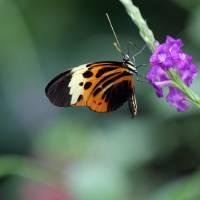 Numata Longwing Butterfly on Purple Flower by Karen Adams