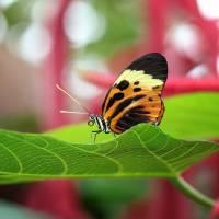 Numata Longwing Butterfly by Karen Adams