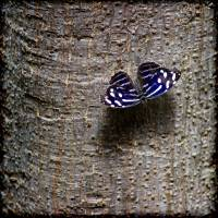 Banded Purplewing Butterfly on Tree Square by Karen Adams