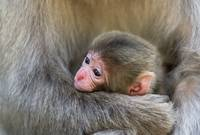 Infant Macaque at Snow Monkey Park. Japan