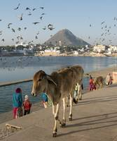 Cows at Pushkar Lake, Rajasthan, India