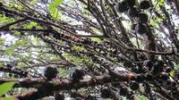 Brazilian grape tree, jaboticaba, jabotica, jabuti