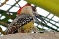 Cuban Woodpecker Streching
