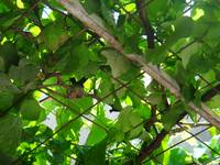 Nest of hummingbird in the grapevine