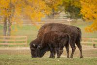 Autumn Buffaloes Cow and Calf