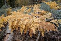 GoldenFerns