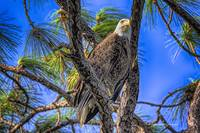 Eagle Series In The Tree