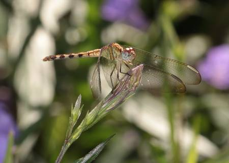 Golden Dragonfly on Flower Bud