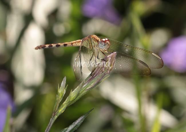 Golden Dragonfly on Flower Bud