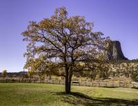 Fall tree and devils tower