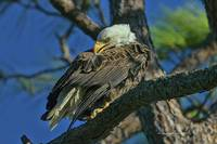 Eagle Series Preening