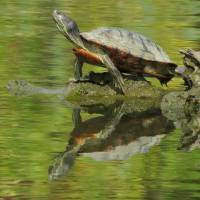 PaintedTurtle Art Prints & Posters by Don Westgate
