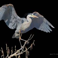 great blue heron scratchboard by r christopher vest