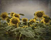 Sunflowers 11