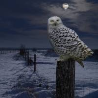 Snowy Owl On A Winter Night by I.M. Spadecaller