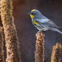 audubon's warbler on mullein by r christopher vest
