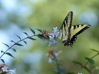 Hang On, Tiger Swallowtail