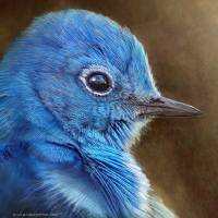 mountain bluebird face by r christopher vest
