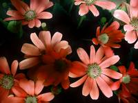 Daisy flowers - Orange