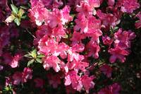 Bright Pink Azaleas in Sunshine