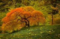 Hillside Maple in Autumn