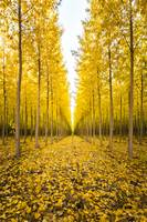 Autumn Poplar Trees by Cody York_1987