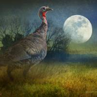 midnight forage turkey by r christopher vest
