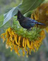 GIANT SUNFLOWER WITH STELLER'S JAY
